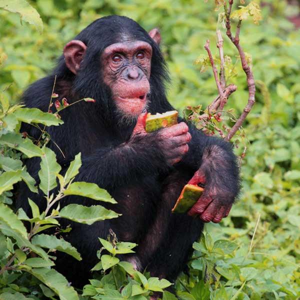 chimpanzee-from-gombe0park
